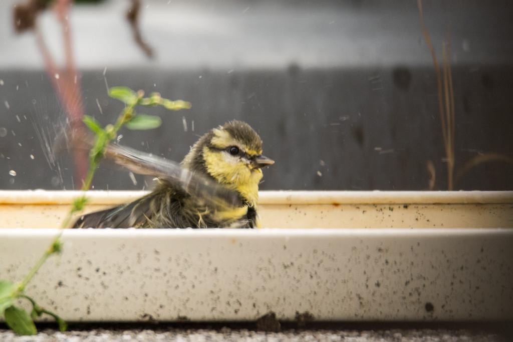 Vogeltränke - garantierter Badespaß