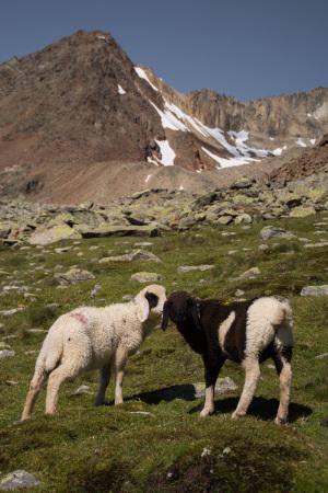 Alpenschafe