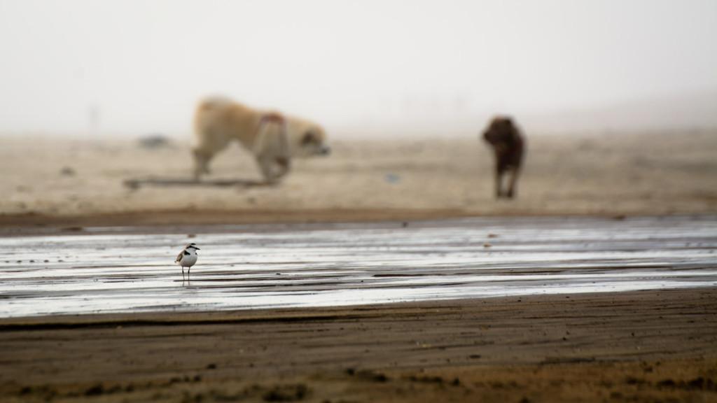 Bedrohung für Seeregenpfeifer durch freilaufende Hunde