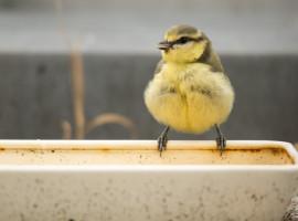Junge Kohlmeise prüft erst mal die Lage an der Vogeltränke