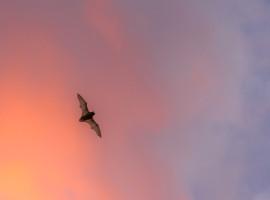 Großer Abendsegler Flugaufnahme